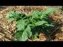 Подкормка плюс обработка томатов от болезней БЕЗ ХИМИИ