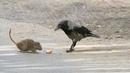Умилительное видео о том, как ворона накормила мышонка.