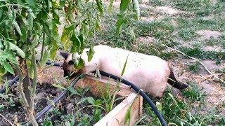 Котики в огороде серия 5 - Оскар изучает систему капельного полива! Тайские кошки - это чудо! Funny