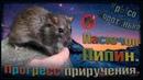 О Пасюк умывается или как изменился Пипин Прогресс приручения дикаря Wild Rats