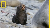 Fur Seals Overcome Extinction On Resurrection Island Ep. 1 Wildlife Resurrection Island