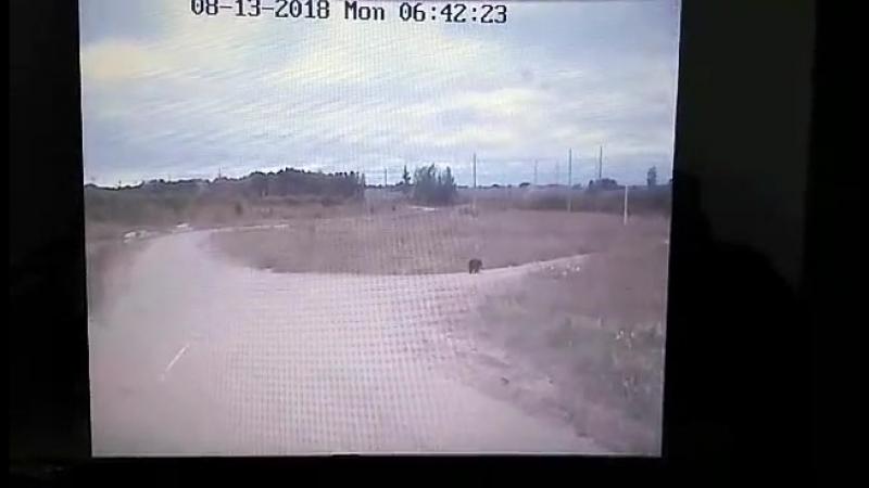 Медведь зачастил на стройплощадку алюминиевого завода в Тайшете