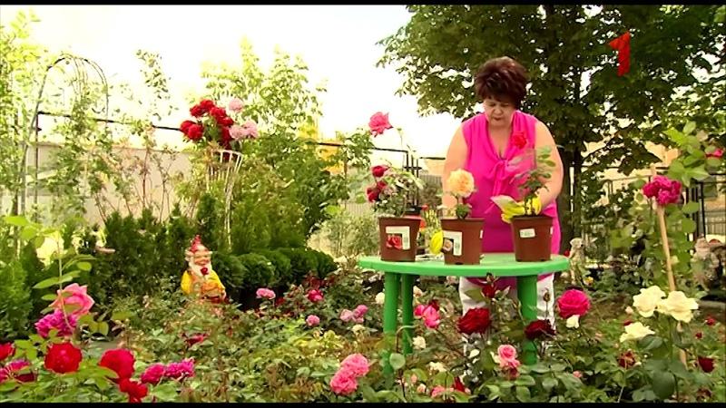 Как защитить Розы от насекомых и вредителей (тлей, мошек)