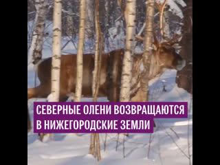 Северные олени возвращаются в Нижегородские земли