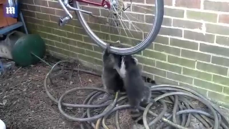 Три енота устроили потасовку из-за велосипеда