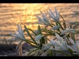Цветение прибрежных лилий.