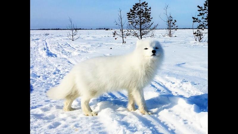 Песец 3 Возвращение пушистика Arctic fox the return of fluffy