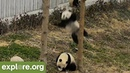 HILARIOUS! Panda FALLS From Tree - Livecam Fails