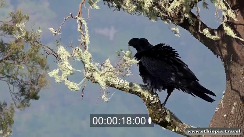 Ethiopia - Simien Thick billed raven