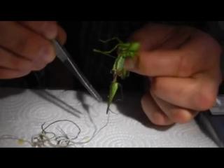 Огромное количество неизвестных паразитов внутри саранчи