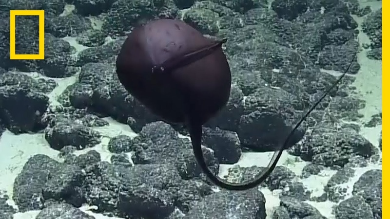Scientists Hilarious Reaction to Bizarre Deep-Sea Fish | National Geographic