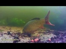 Sazan balığı su altı görüntüleri yakalanma