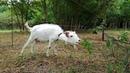 Электропастух Протон ИЭ 4. Подключение и испытание с козами.