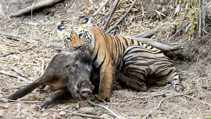 Hungry Tiger Hunting Warthog in India.