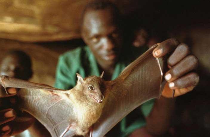 Фруктовая летучая мышь является одним из основных виновников размещения и передачи вируса Эбола