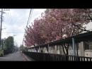 八重桜を襲う強風