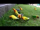Lovebird farm free fly dan fly over penangkaran Lovebird metode alam Liar