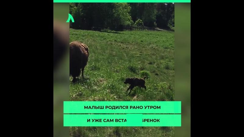 В Ленобласти родился редкий детеныш – зубренок   АКУЛА