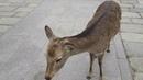 Япония Нара с оленями.Полная версия. Japan Nara with deer. Full version. 日本の奈良と鹿。完全版。