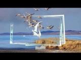 Лебеди летят. Автор песни Ян Райбург