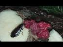 мадагаскарские тараканы трапезничают