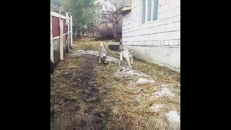 Страж Сибири Фараон (бел-тигр.) 6 мес.