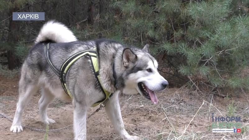 На вихідних в Харкові відбулися гонки на собачих упряжках
