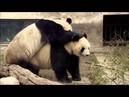 Animal Planet Discovery Channel Panda Documentary 2015 Full HD
