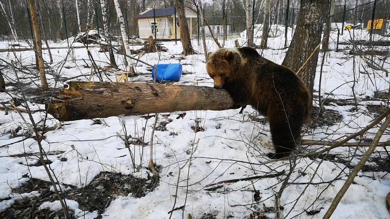 Медведь Мансур и бревно