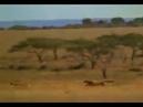 Для настроения анекдот. Едет семейная пара. Видят: гепард гонится за косулей. Муж говорит: нет шан