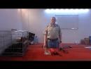 Дрессировка таксы Гавра,  день 53, вечернее занятие