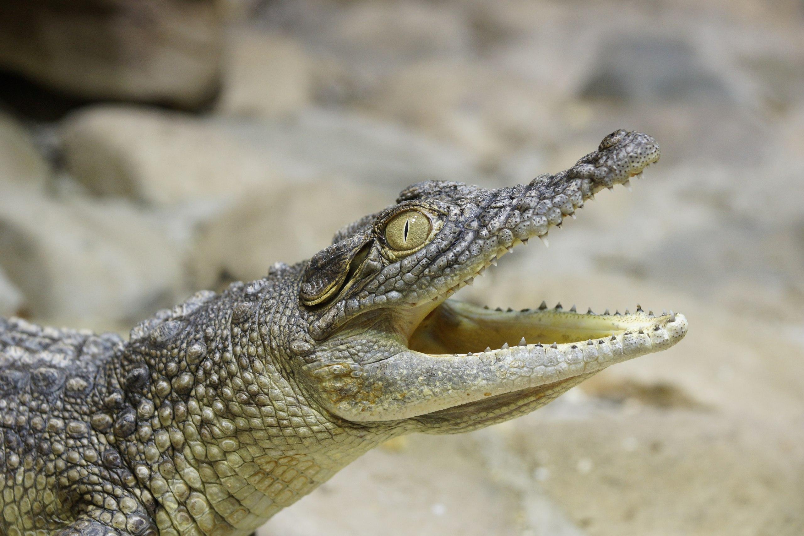 картинки о нильском крокодиле