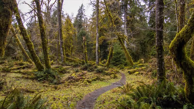 Hoh Rain Forest - Nature Relaxation Video