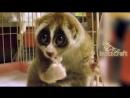 Лемуры - самые милые животные в мире