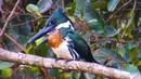 Amazon kingfisher Амазонский зелёный зимородок Chloroceryle amazona
