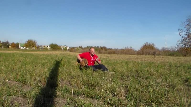 Нужно ли играть с бойцовой собакой Американский Стаффордширский терьер.