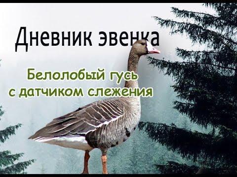 Белолобый гусь со спутниковым передатчиком.White-fronted goose with satellite transmitter.