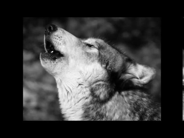 Белый Волк муз и слова Ник Ким группа Арамис