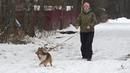 Догтренинг 77. Рвущаяся с поводка собака - так гуляет шелти.