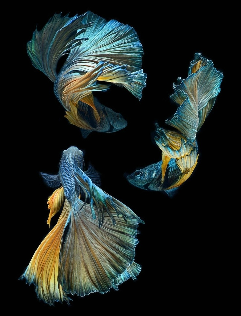 Кормление аквариумных рыб-петушков