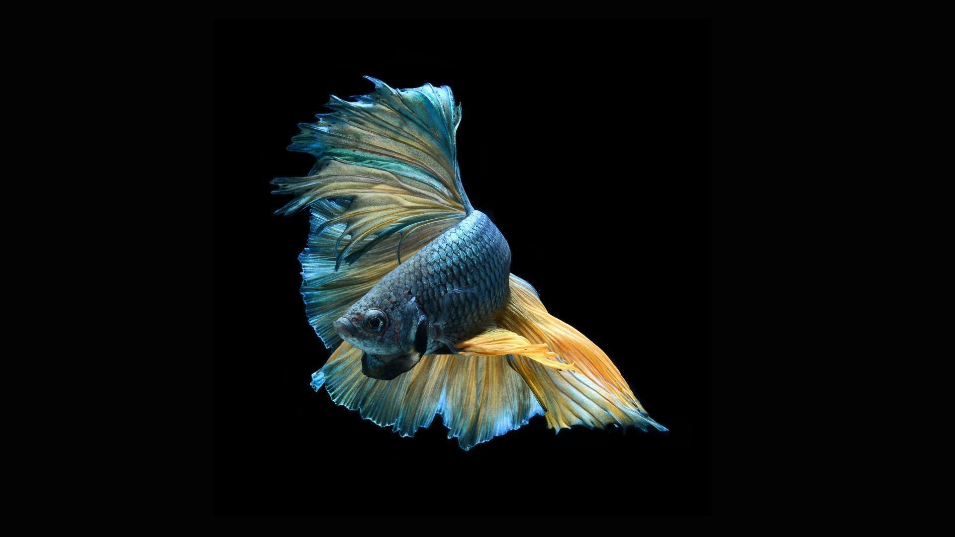 Продолжительность жизни рыб-петушков
