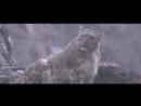 Снежный Барс -ИРБИС