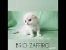 Pretty Paul Brio Zaffiro шотландский длинношёрстный вислоухий котенок кремовый биколорный колорпойнт