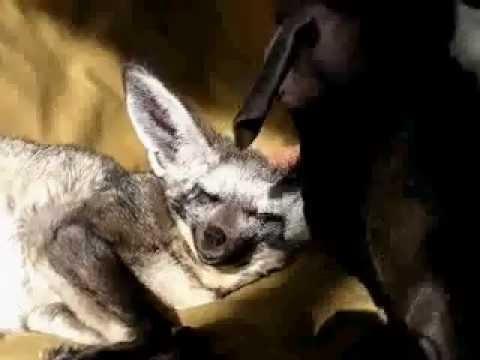 Pitbull grooms Kalahari fox