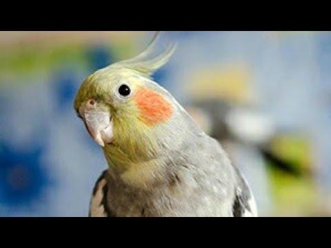 челлендж что сделать с птицей коррелой кишулией