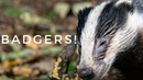 Photographing Badgers From a Hide - RSPB Burton Mere Wetlands