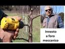 Прививка плодового дерева при помощи дрели.