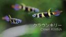 40.クラウンキリー Clown Killifish グッピーのような存在感のある小さな熱帯魚