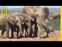 Shocking Footage of Baby Elephant Tossed Around by Adult Explained National Geographic