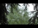 The sound of rain in the forest Sounds of nature for relaxation